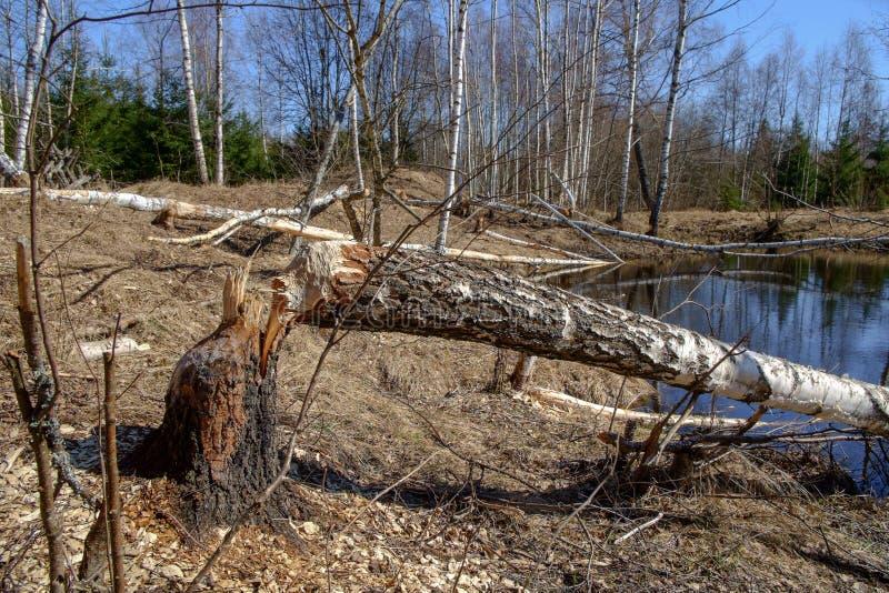 La morsure de castor marque sur l'arbre de bouleau image libre de droits