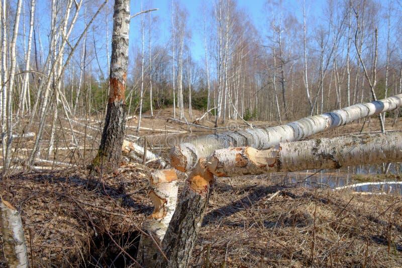 La morsure de castor marque sur l'arbre de bouleau photos stock