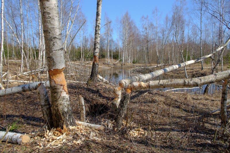 La morsure de castor marque sur l'arbre de bouleau photo libre de droits