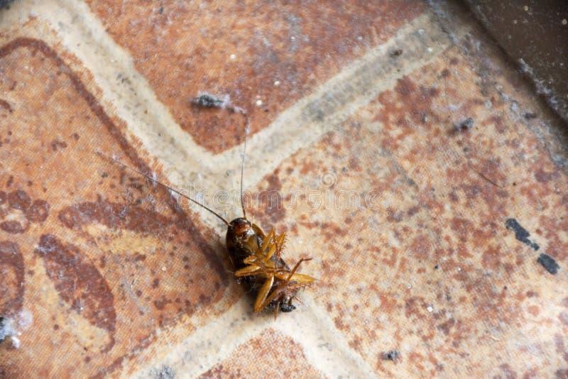 La mort de attente de petit et jeune mensonge de cancrelat sur le plancher dans la maison parce qu'insecticide de jet photo stock