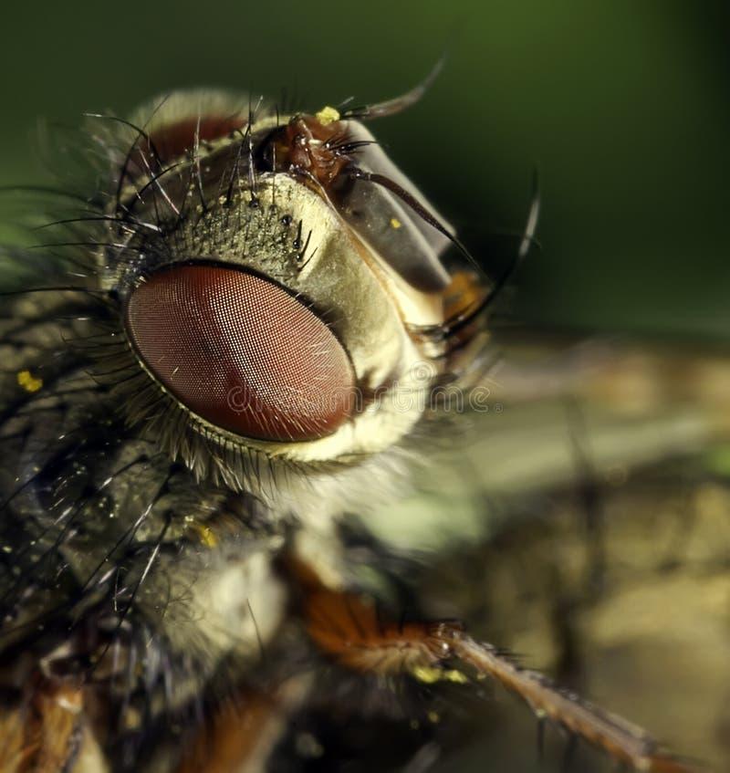 La mosca fotografie stock libere da diritti