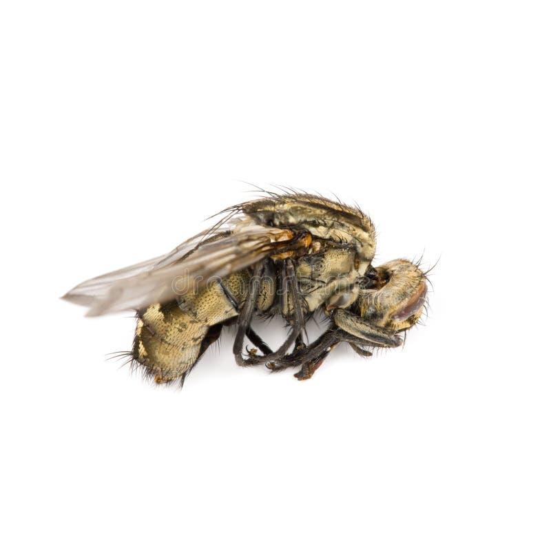 Download La mosca aisló foto de archivo. Imagen de mosca, horizontal - 42427146