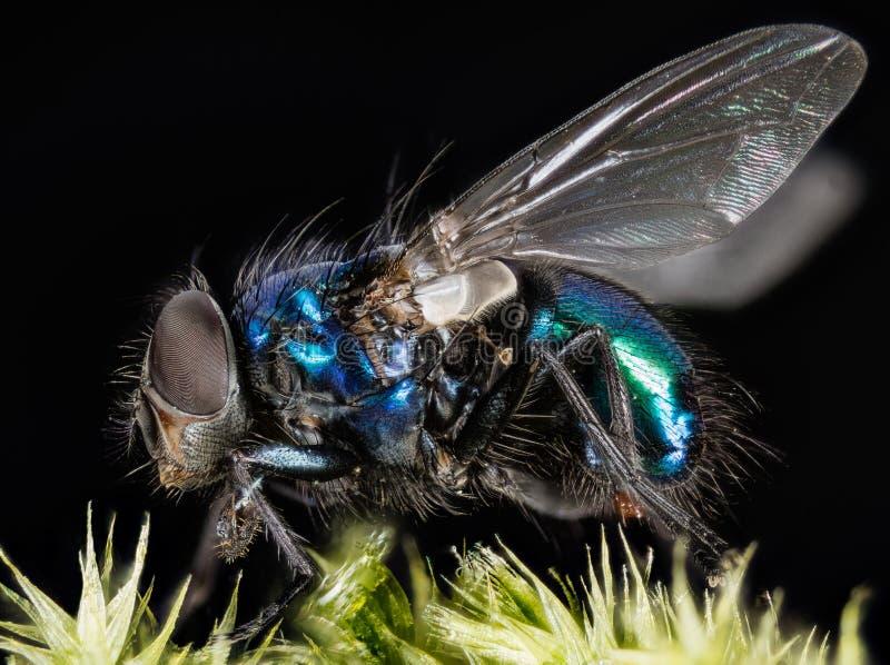 La mosca azul común de la botella, mosca de la moscarda, vuela foto de archivo libre de regalías
