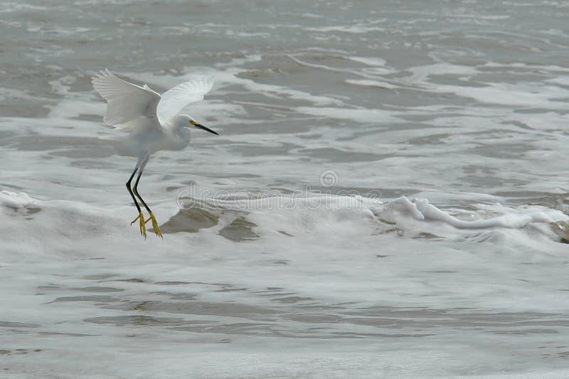 La mosca dell'airone bianco del ecuadorian sull'Oceano Pacifico fotografia stock libera da diritti