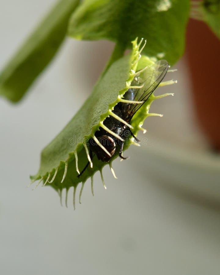 La mosca doméstica común cogió en la trampa de plantas carnívoras de Dionea fotos de archivo libres de regalías