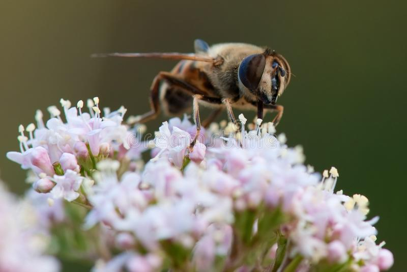 La mosca Eristalis tenax del abejón poliniza la flor foto de archivo