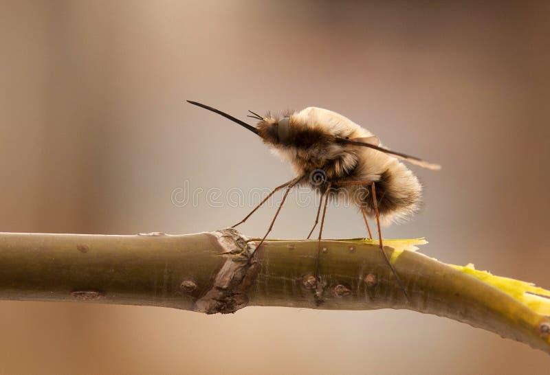 la mosca lanuda se sienta en una rama Macro Primer imagen de archivo