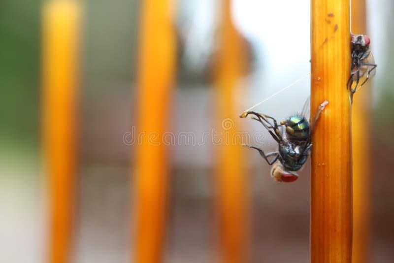 La mosca se pegó en trampas del pegamento en la tabla fotos de archivo