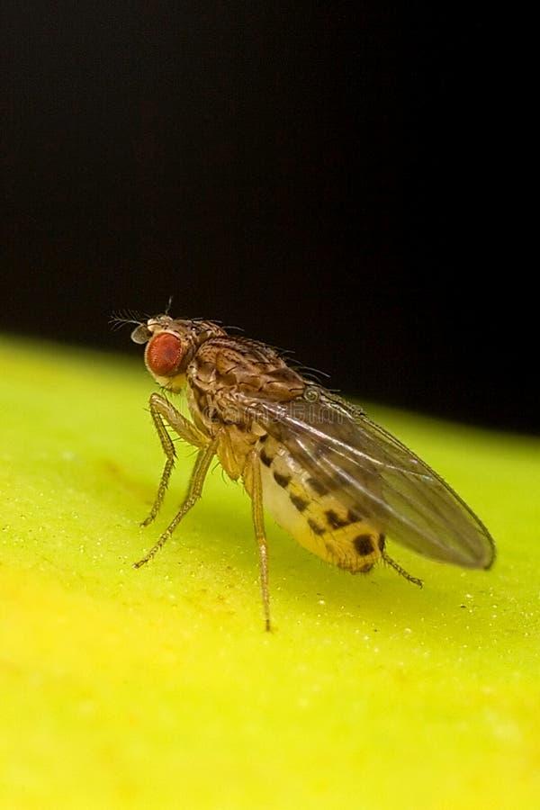 La mouche à fruit va banane images libres de droits