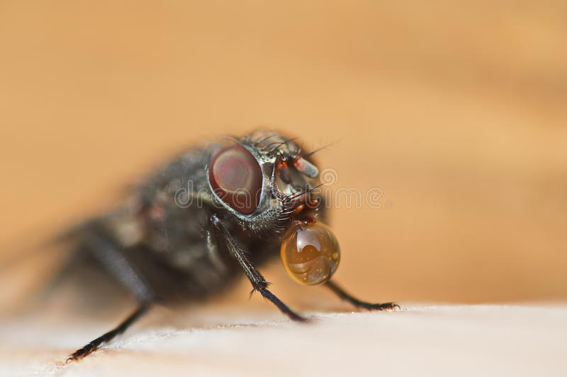 La mouche photographie stock
