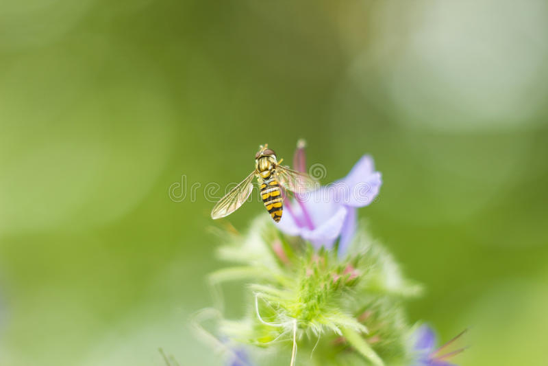 La mouche que Hoverfly a parfois appelé la fleur vole ou le syrphid vole pilotant se reposer hoverfly près de la fleur lilas en p image libre de droits