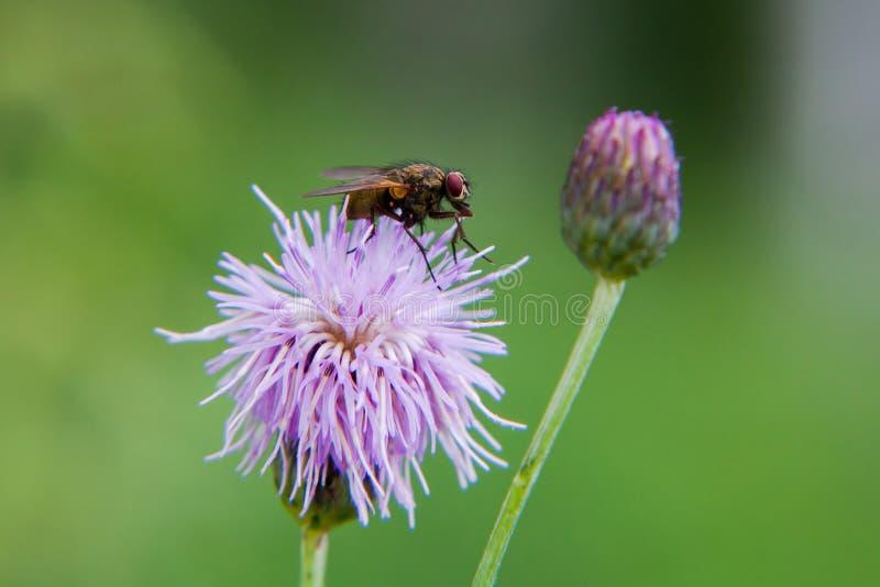 La mouche se repose sur une fleur Fond vert image stock