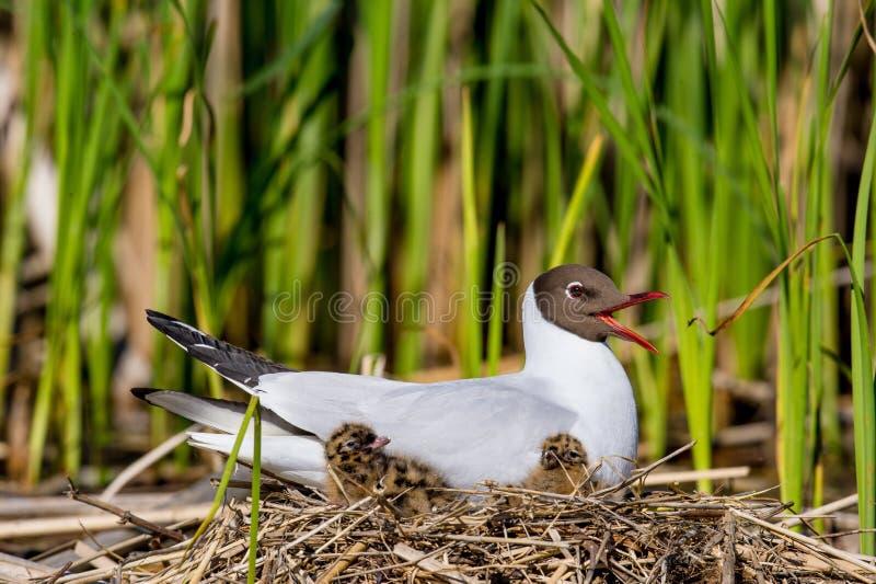 La mouette à tête noire (ridibundus de larus) et oiseau de bébé dans le nid photographie stock libre de droits