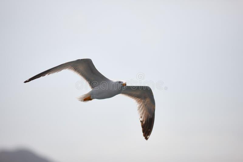 La mouette blanche monte vol dans la perspective du ciel bleu, des nuages et des montagnes La mouette vole photographie stock libre de droits