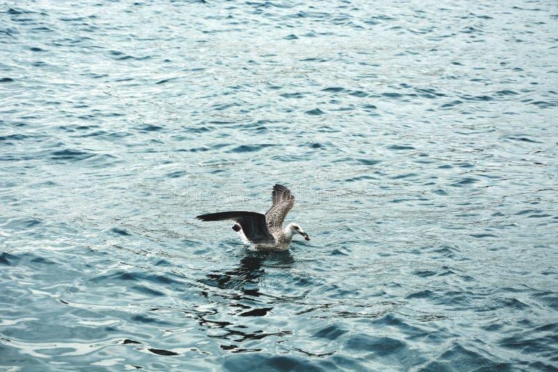La mouette chassant au-dessus de la mer photos stock