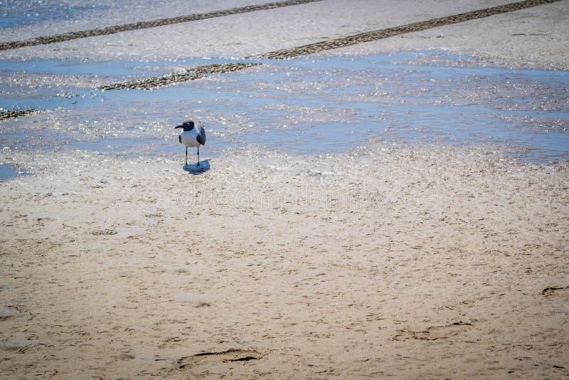 La mouette d'un Franklin flânant autour en île du sud d'aumônier, le Texas photo stock