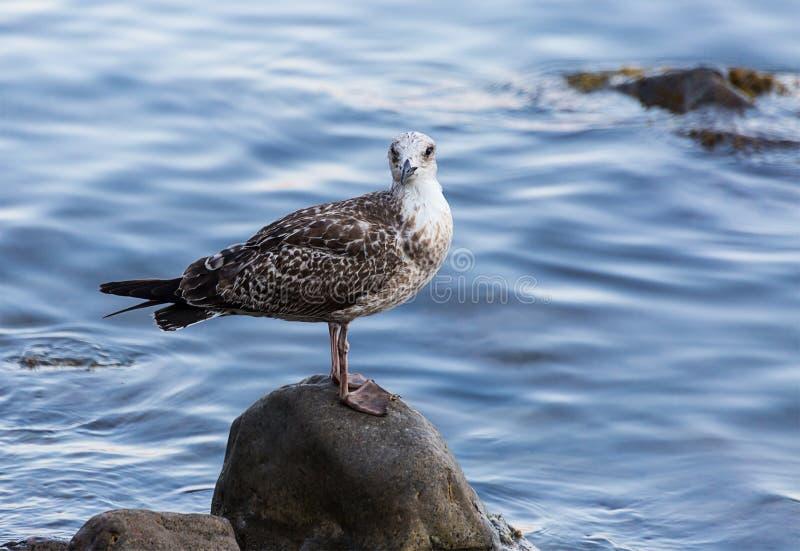 La mouette dans le point blanc se tient sur une pierre humide contre l'eau bleue de la mer photo libre de droits