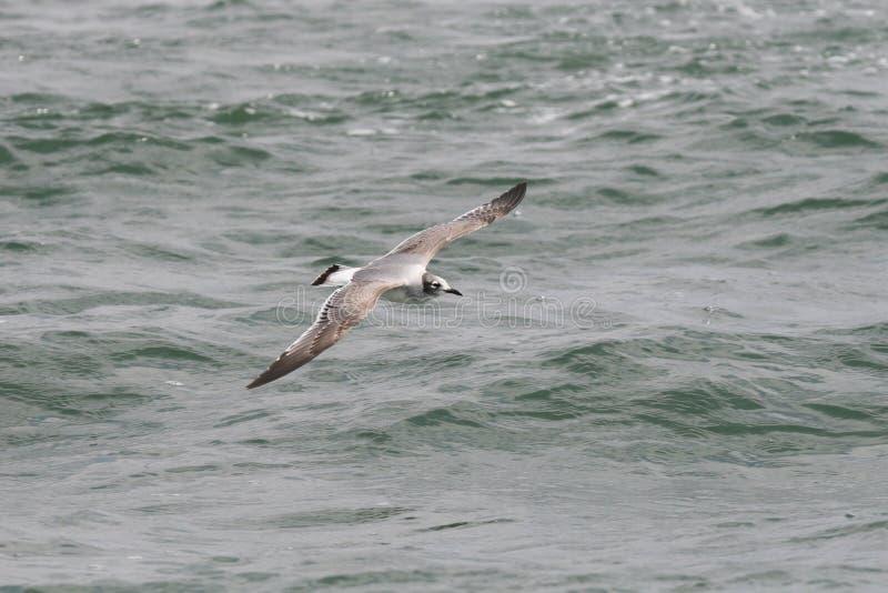 La mouette de Franklinvolant au-dessus de l'océan photographie stock