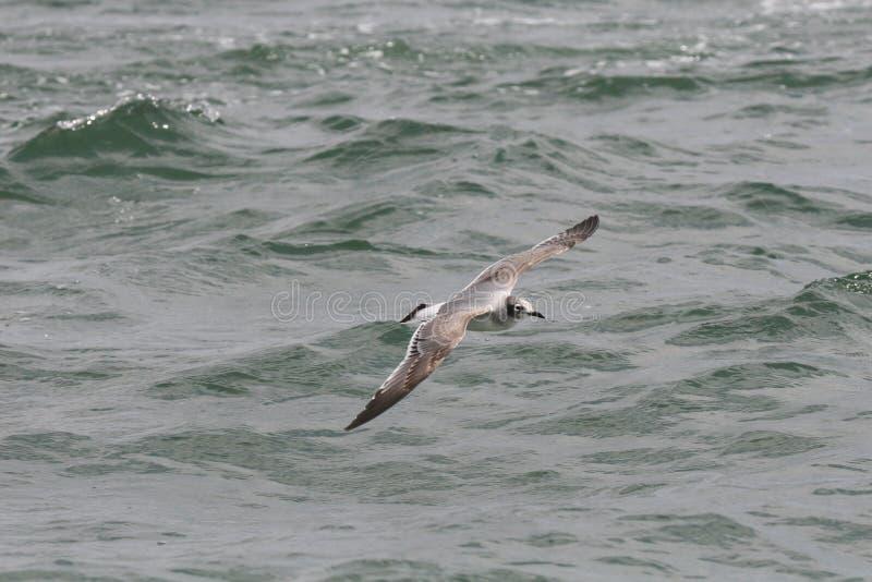 La mouette de Franklinvolant au-dessus de l'océan images libres de droits