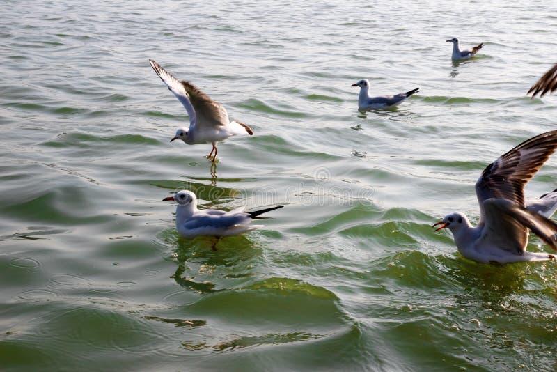 La mouette de Heuglin ou la mouette sibérienne, a émigré l'oiseau sibérien sur le Gange Allahabad au sangam de triveni de prayag photographie stock