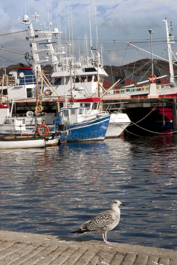 La mouette et les bateaux ont amarré dans les eaux calmes de Killybegs image libre de droits