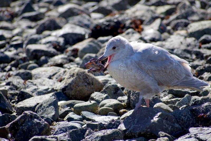 La mouette glauque-à ailes non mûre tient le crabe dans son bec tout en se tenant sur le rivage rocheux image libre de droits