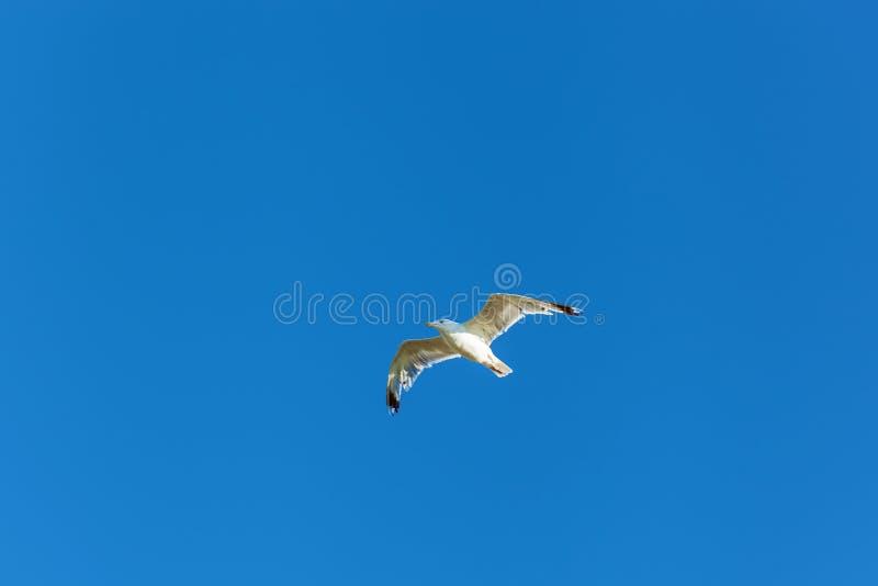 La mouette plane dans le ciel bleu photographie stock