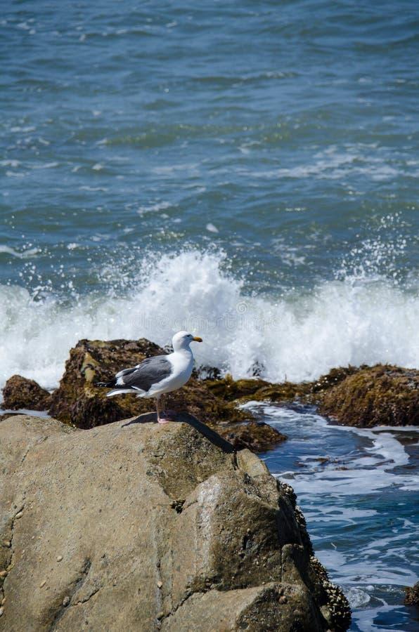 La mouette se repose près de l'océan pacifique au point Cabrillo à San Diego pendant que l'eau éclabousse sur la roche photo stock
