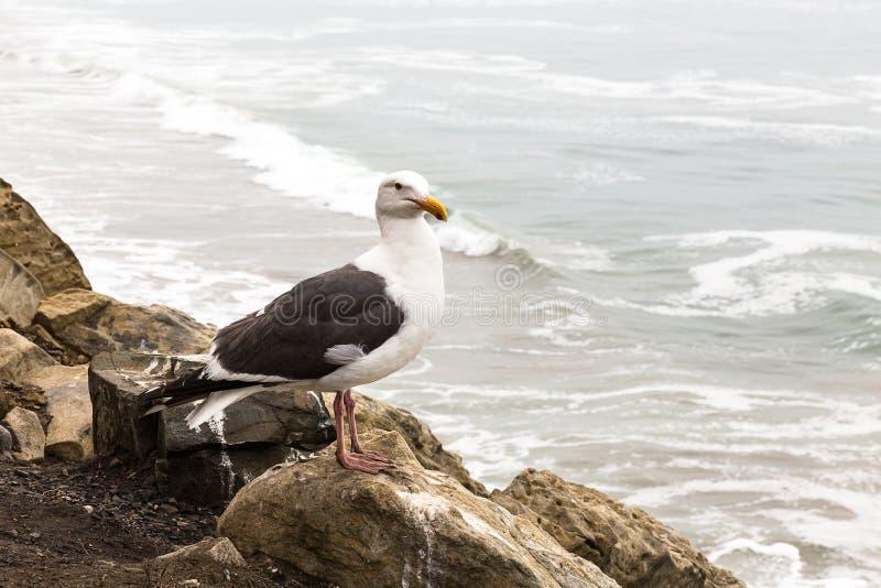 La mouette se repose sur la roche et regarde l'océan pacifique, la Californie, photographie stock libre de droits