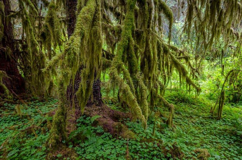 La mousse a couvert des arbres, parc national olympique photos stock