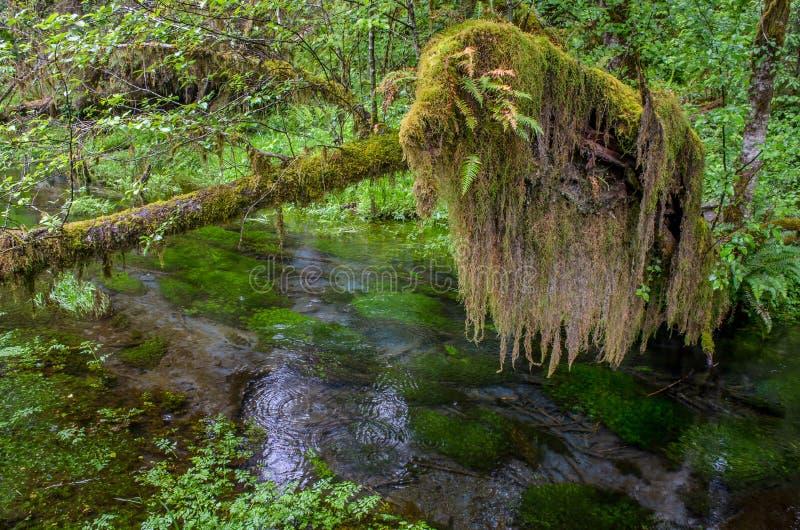 La mousse a couvert la branche, parc national olympique images stock