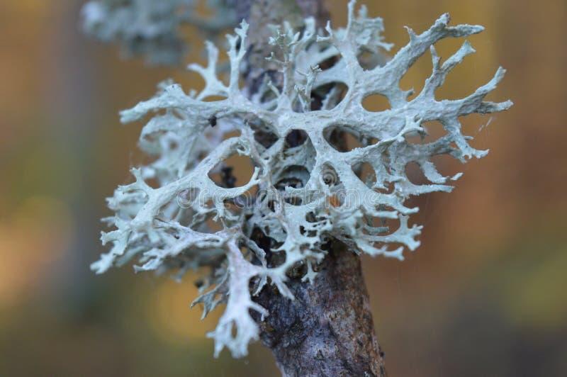 La mousse d'arbre photos stock