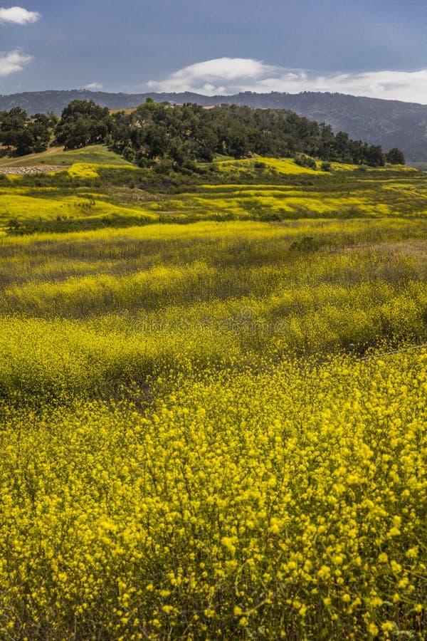 La moutarde jaune se développe où le lac Casitas était photographie stock libre de droits