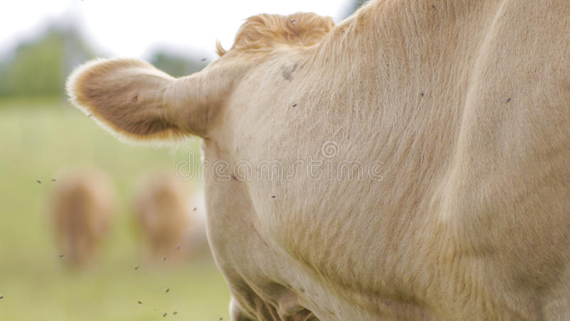 La mucca immagini stock