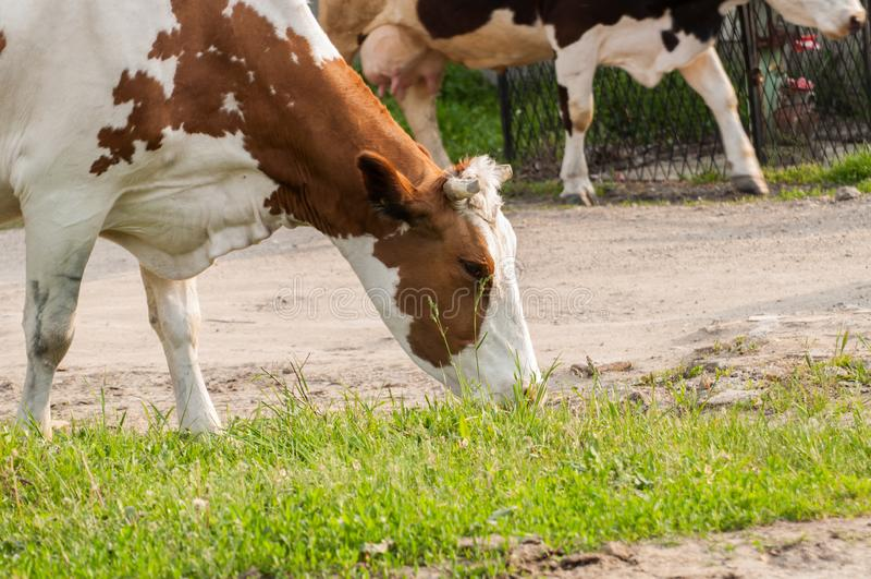 La mucca bianca di Brown sulla via mangia l'erba verde Mucca bianca di Brown in natura fotografia stock libera da diritti