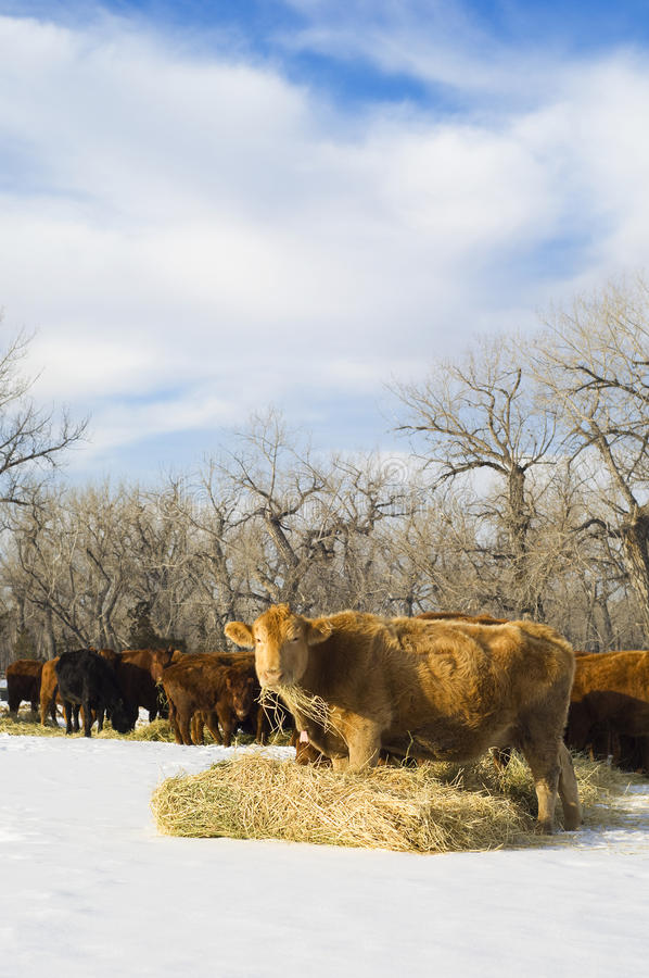 La mucca del Angus mangia il fieno durante l'inverno immagini stock