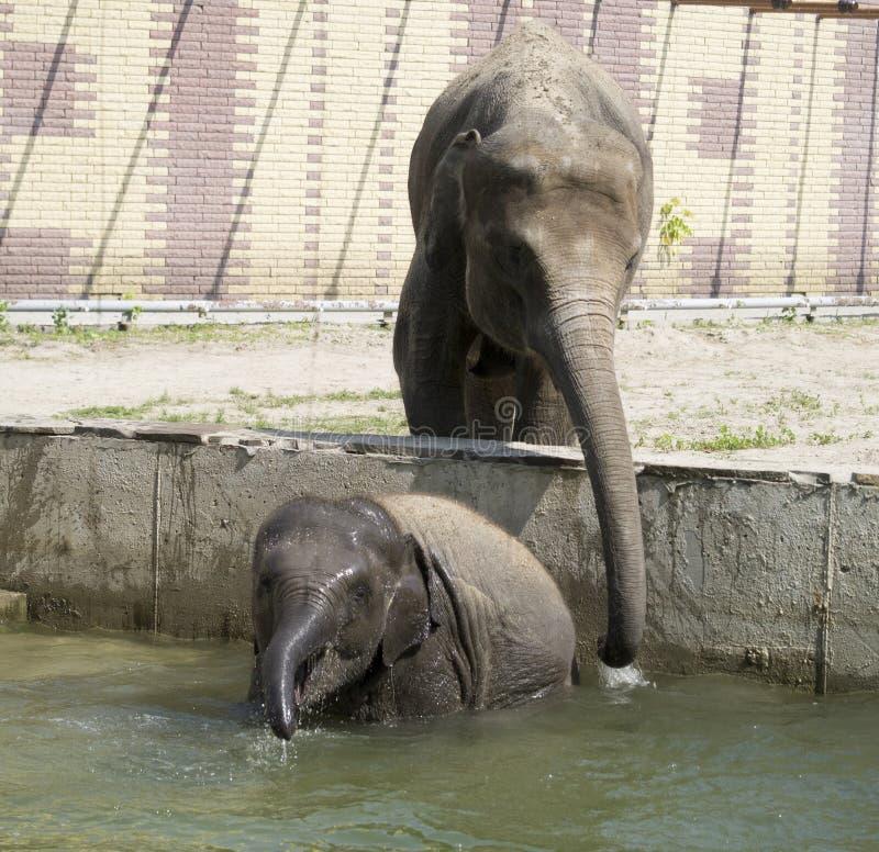 La mucca dell'elefante bagna il vitello dell'elefante fotografia stock libera da diritti