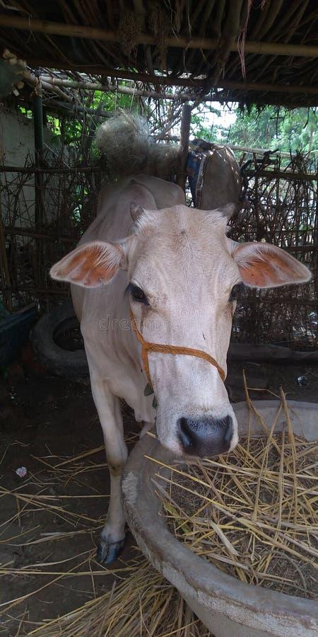 La mucca mangia l'erba e l'erba gialla in villaggio fotografia stock libera da diritti