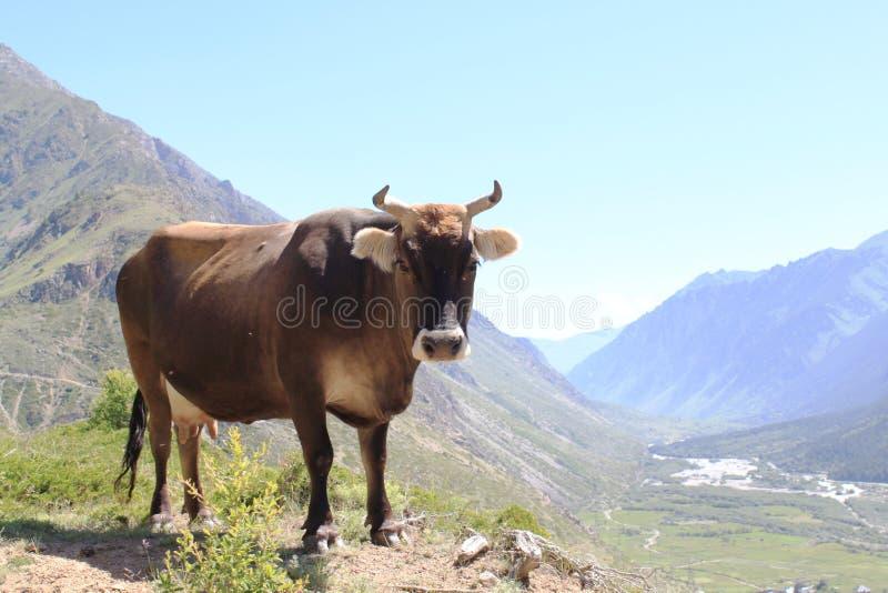 La mucca sta lateralmente sui precedenti delle montagne fotografie stock