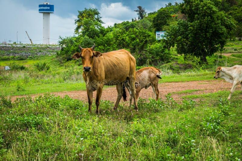 La mucca sta mangiando il latte materno fotografia stock