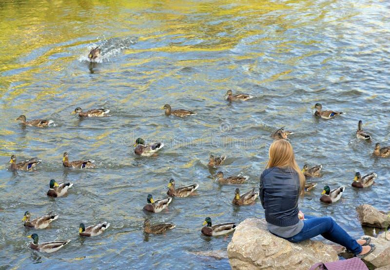 La muchacha alimenta patos con el pan que se sienta en las rocas por el rive imagen de archivo libre de regalías