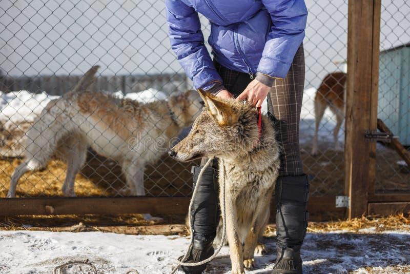 La muchacha con el lobo gris en la pajarera con los perros y los lobos fotografía de archivo