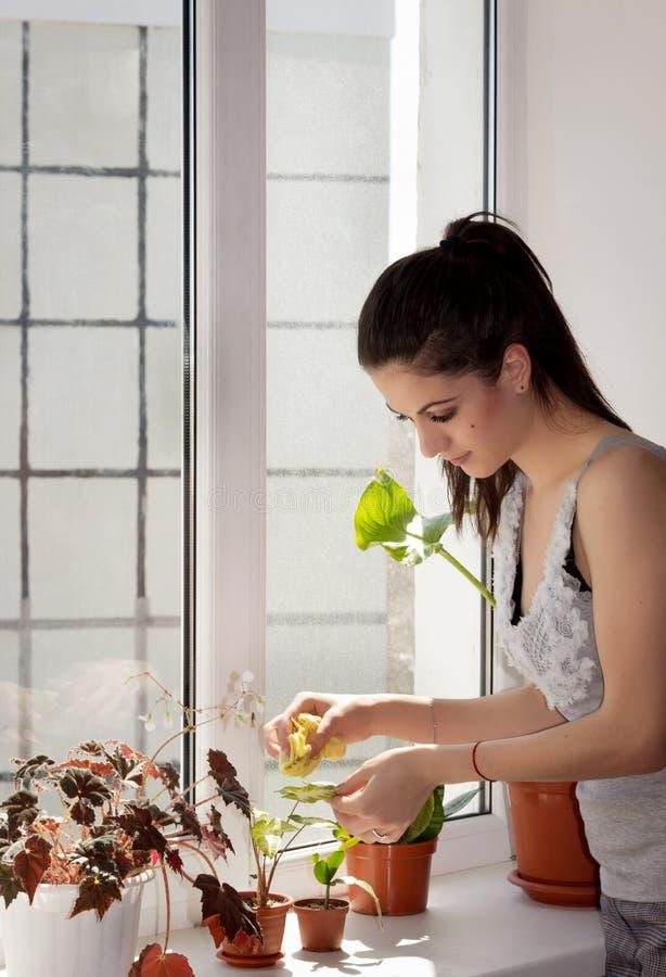La muchacha limpia un polvo de las hojas del houseplant