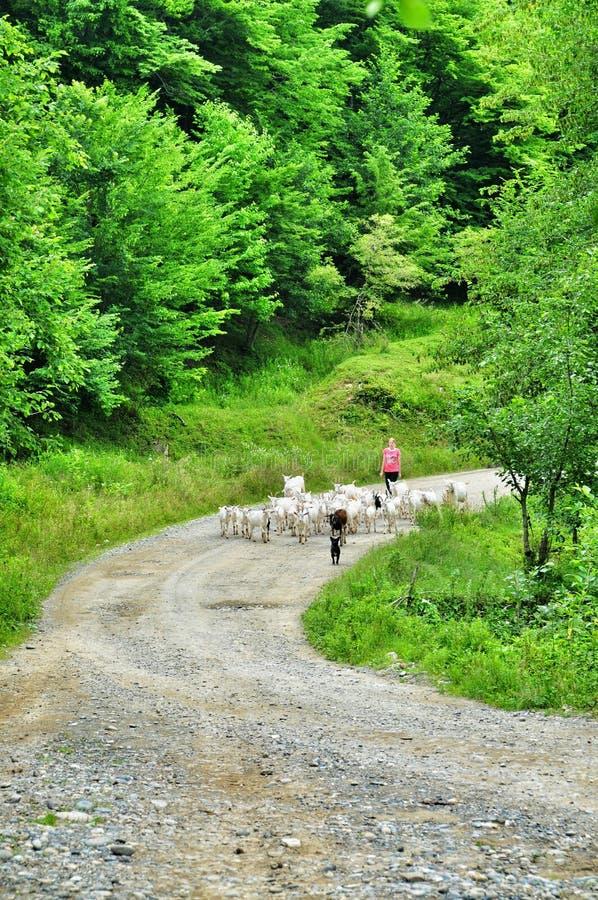 La muchacha es una vaquera y una manada de cabras foto de archivo libre de regalías