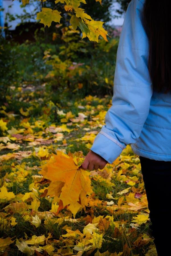 La muchacha está sosteniendo un ramo de hojas de arce del amarillo del otoño en sus manos imagenes de archivo