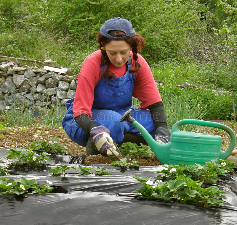 La mujer cava plantaciones de la fresa imágenes de archivo libres de regalías