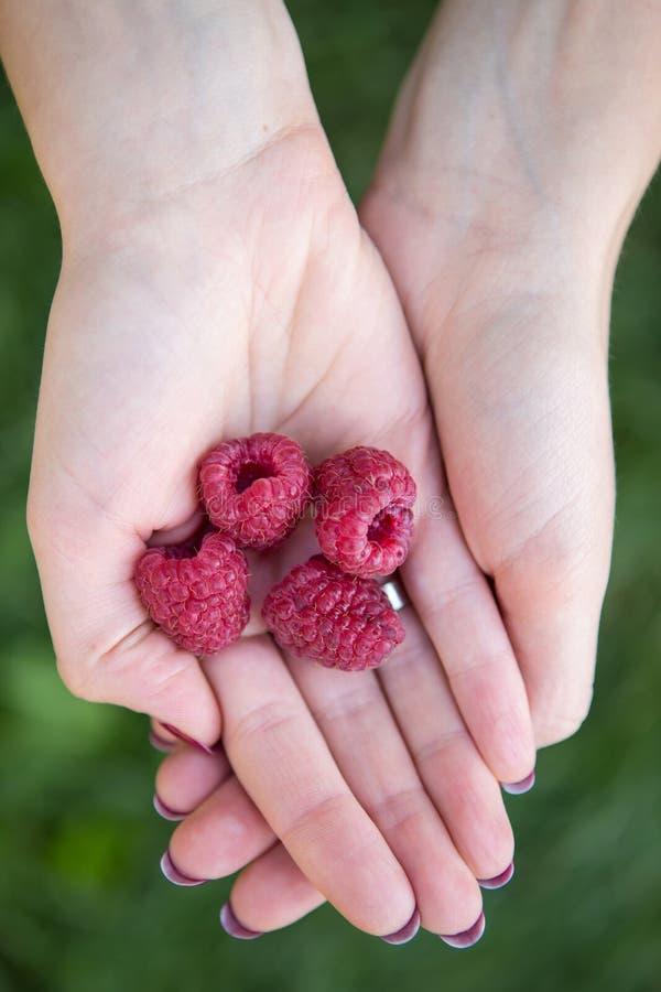 La mujer da sostener las frambuesas rojas maduras frescas en el jardín encendido imágenes de archivo libres de regalías