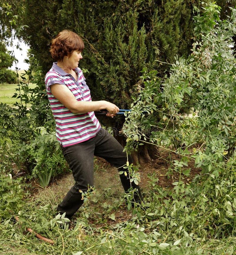 La mujer de mediana edad aborda a Rose Bush With Secateurs espinosa overgrown. imagen de archivo libre de regalías