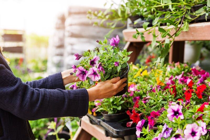 La mujer elige las flores de la petunia en la tienda del cuarto de niños de la planta de jardín imágenes de archivo libres de regalías