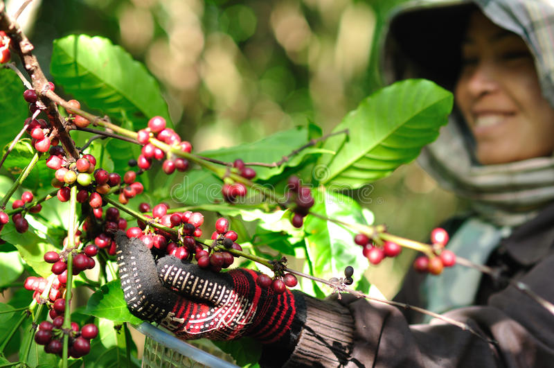 La mujer está cosechando bayas de café foto de archivo